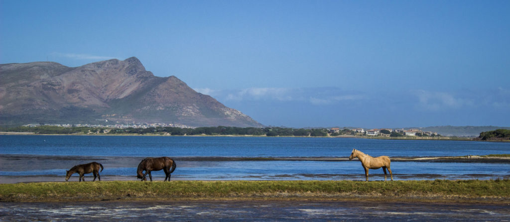Wild horses in western cape