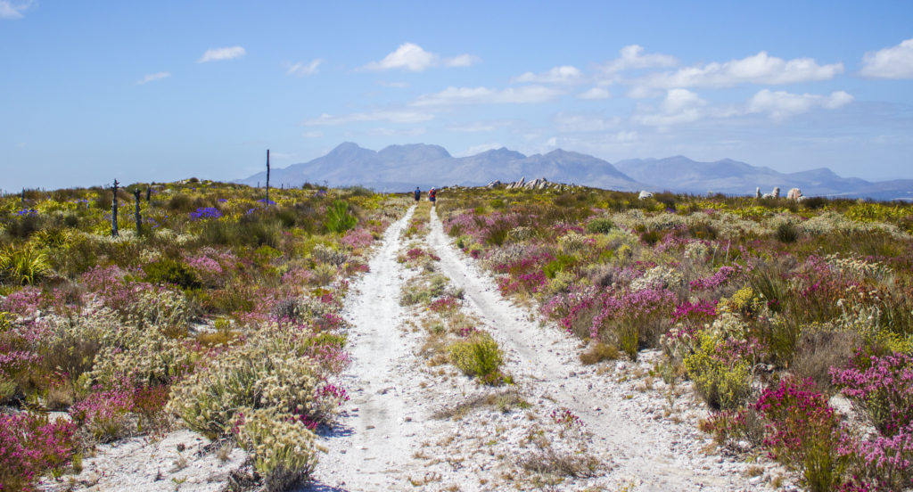 sandy trail with fynbos in kogelberg natuere reserve